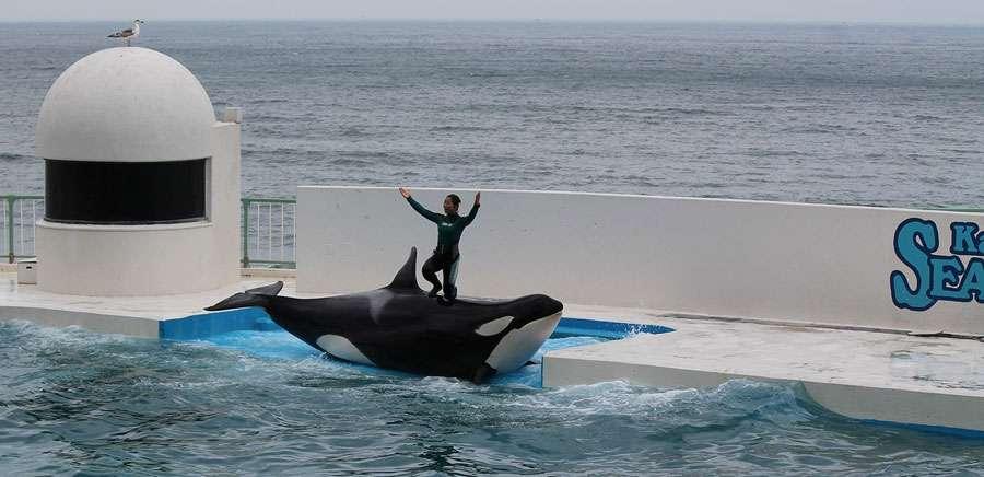 L'orque, super prédateur social