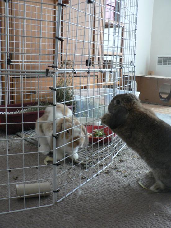 rencontre entre 2 lapins)
