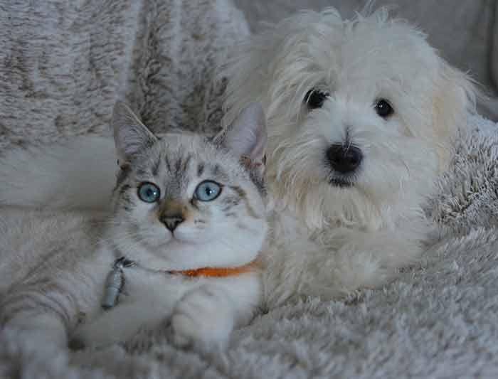 rencontre entre chien et chat adulte)