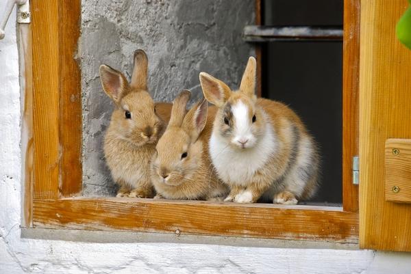 Cohabitation 2 lapins- La dure vie du lapin urbain-